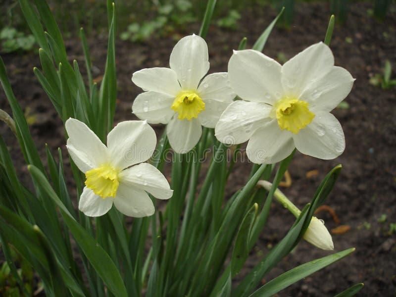 Tre blommor och en knopp av den vita pingstliljan arkivbilder