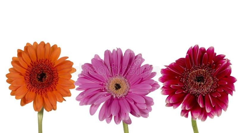 Tre blommor på en vit bakgrund arkivbild