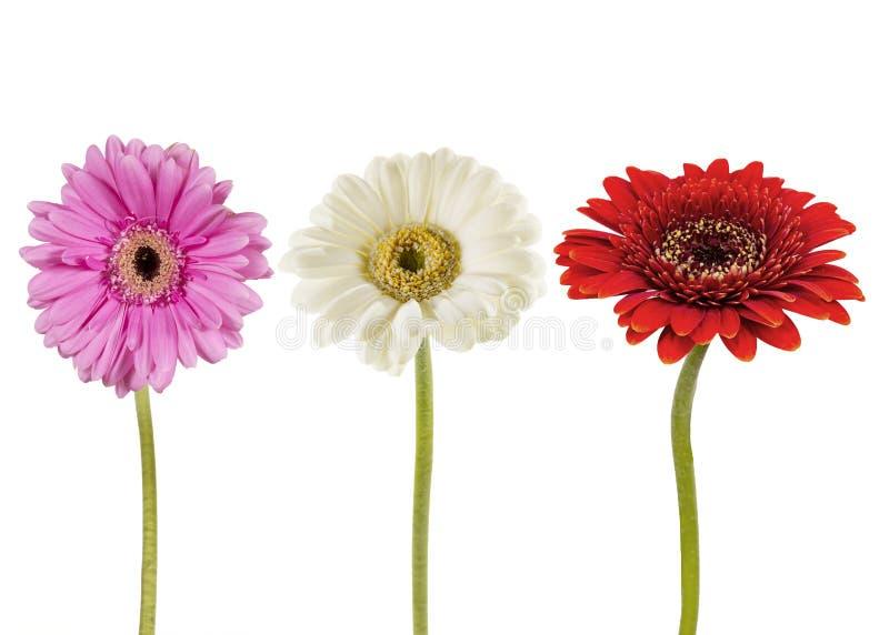 Tre blommor på en vit bakgrund royaltyfria bilder