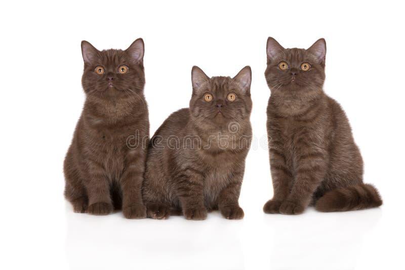 Tre brittiska shorthairkattungar royaltyfria bilder