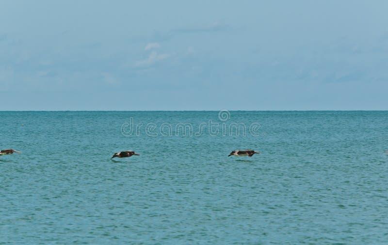 Tre bruna pelikan lågt, över tropiskt vatten arkivfoto