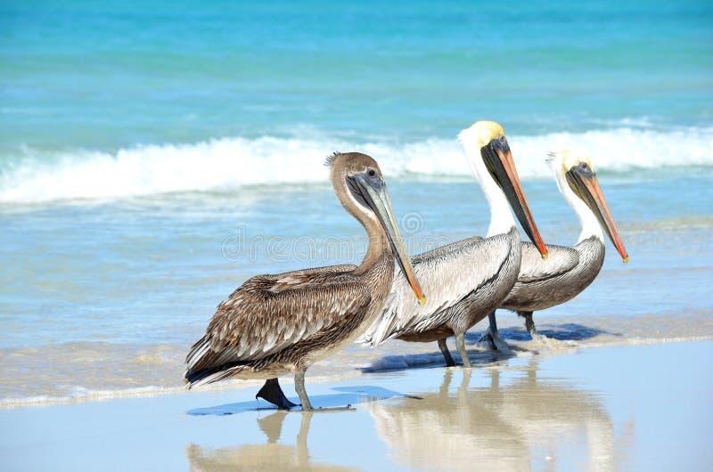 Tre bruna pelikanPelecanusoccidentalis som går på stranden bland folk i den Varadero Kuban royaltyfri fotografi