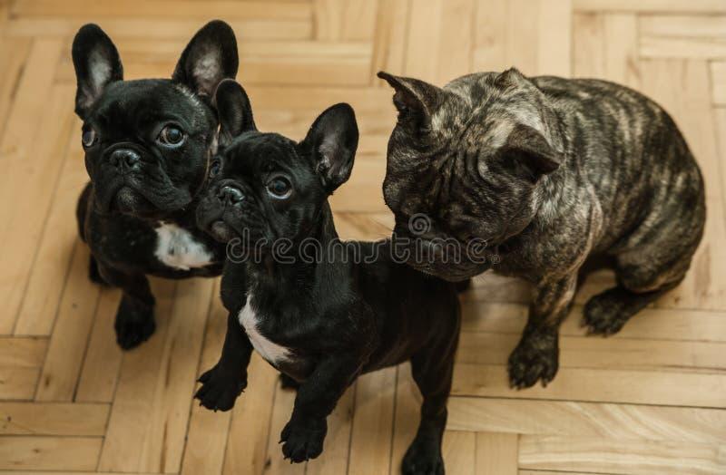 Tre bulldog francesi che aspettano gli ossequi fotografia stock libera da diritti