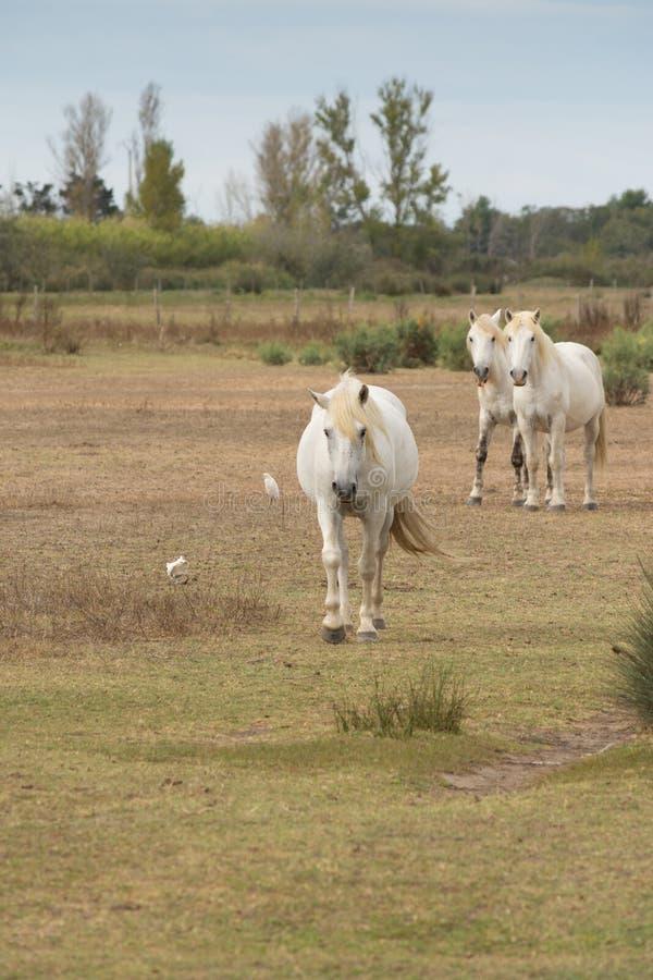 Tre Camargue hästar i ett fält som går in mot kameran royaltyfri fotografi