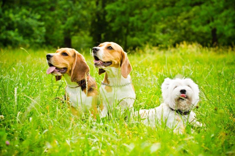 Tre cani fotografia stock