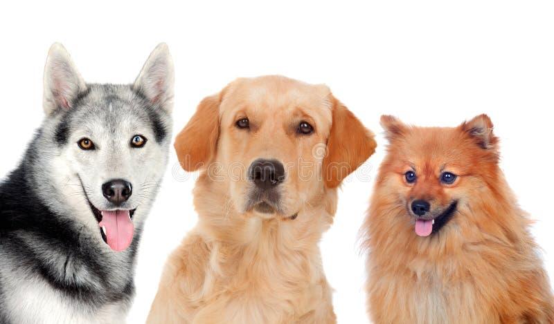Tre cani adulti differenti immagine stock libera da diritti