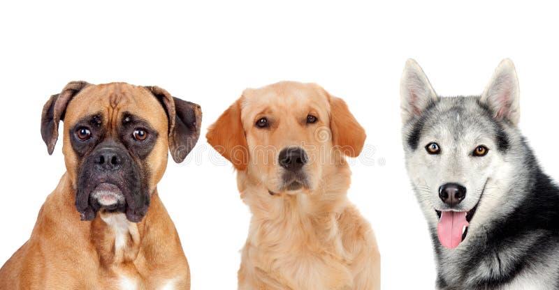 Tre cani adulti differenti immagini stock libere da diritti