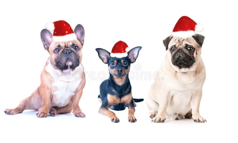 Tre cani in cappucci del ` s del nuovo anno su un fondo bianco, isolato fotografie stock libere da diritti