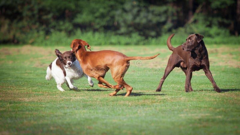 Tre cani che giocano su un prato immagine stock