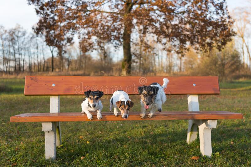 Tre cani che saltano da un banco di parco Un piccolo pacchetto di Jack Russell Terrier fotografie stock