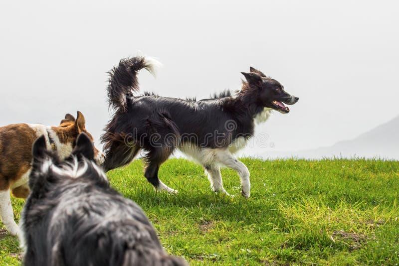 Tre cani da pastore sul prato della montagna fotografie stock