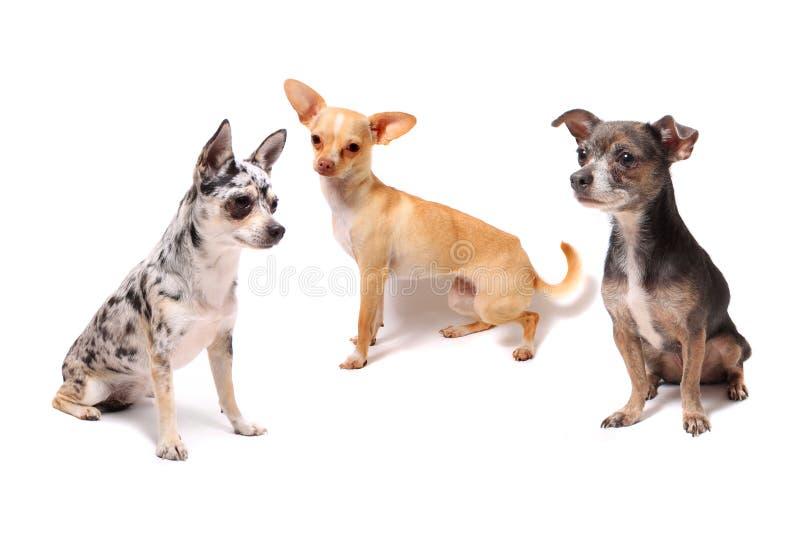 Tre cani della chihuahua immagine stock