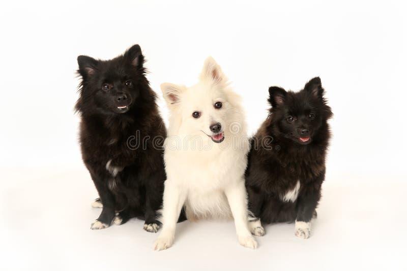 Tre cani di italiano di volpino fotografie stock libere da diritti