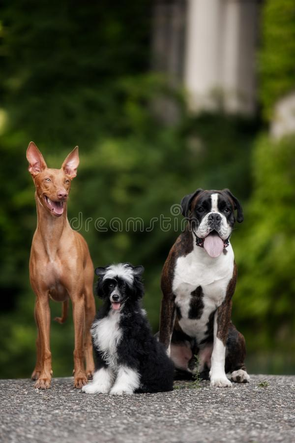 Tre cani felici: Pugile, segugio di faraone, cinese crestato sulle vie fotografie stock libere da diritti