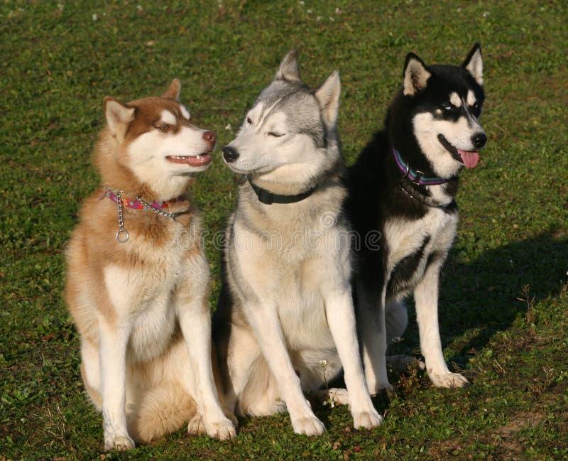 Tre cani husky immagine stock libera da diritti