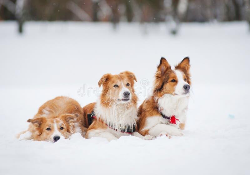 Tre cani che si trovano sulla neve nell'inverno fotografia stock libera da diritti
