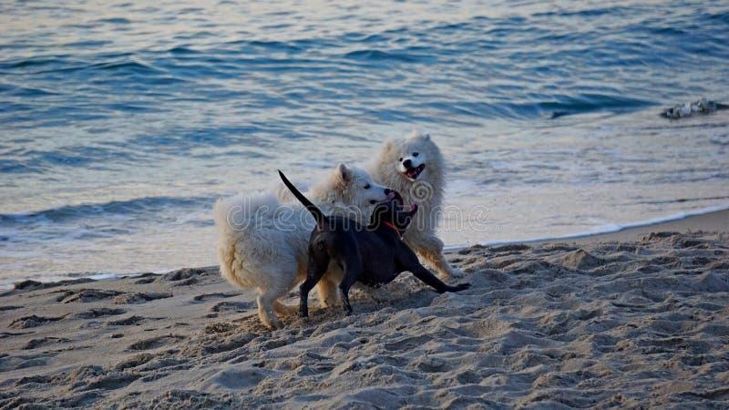 Tre cani sono giocati sulla spiaggia immagine stock