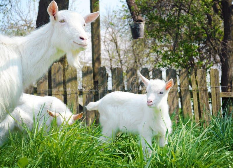 Tre capre bianche che stanno fra l'erba verde fotografia stock libera da diritti