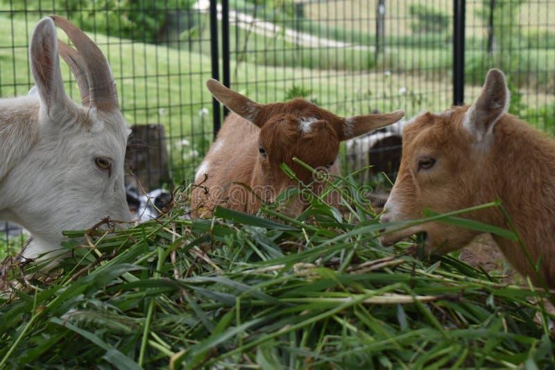 Tre capre che mangiano uno spuntino di erba sulla loro barra di insalata di estate su un'azienda agricola in Wisconsin rurale immagine stock