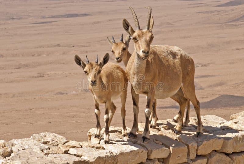Tre capre di montagna curiose nel deserto immagine stock