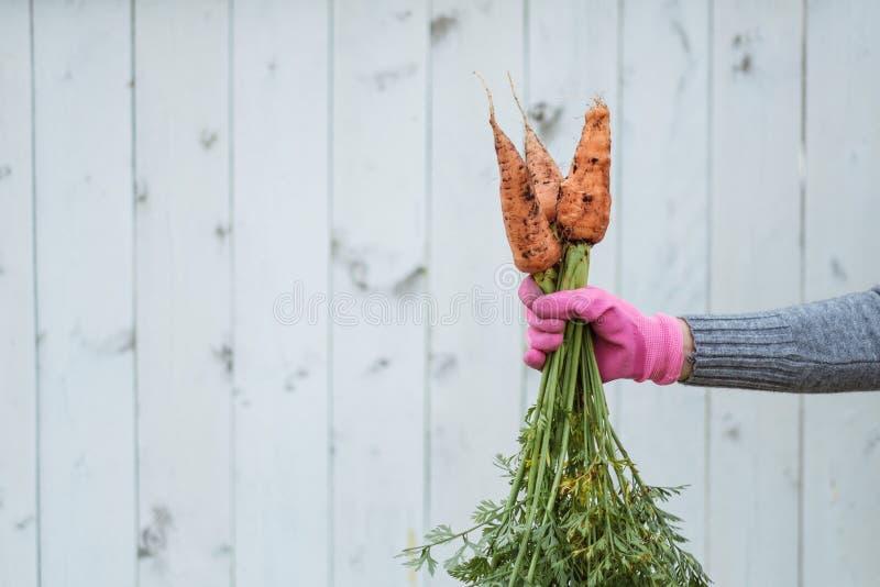 Tre carote in una mano femminile contro lo sfondo di un recinto bianco fotografie stock