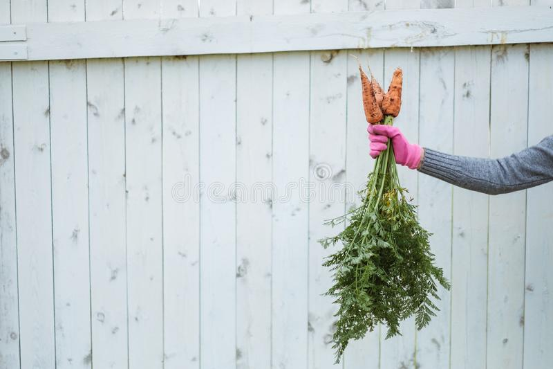 Tre carote in una mano femminile contro lo sfondo di un recinto bianco immagini stock libere da diritti