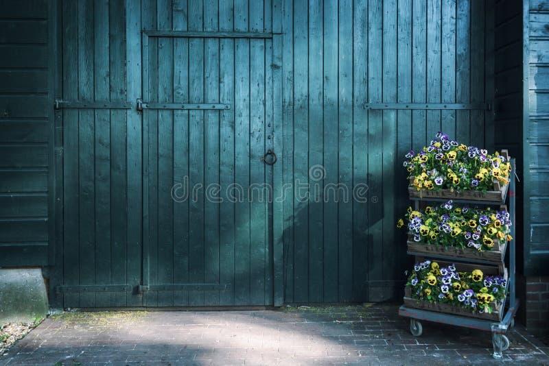 Tre casse riempite di belle viole di fioritura per una grande porta di granaio di legno verde fotografia stock libera da diritti