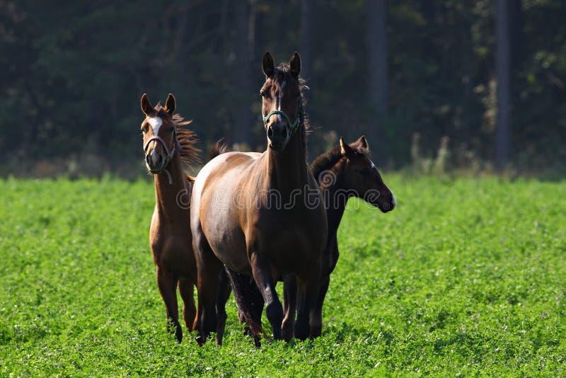 Tre cavalli immagini stock