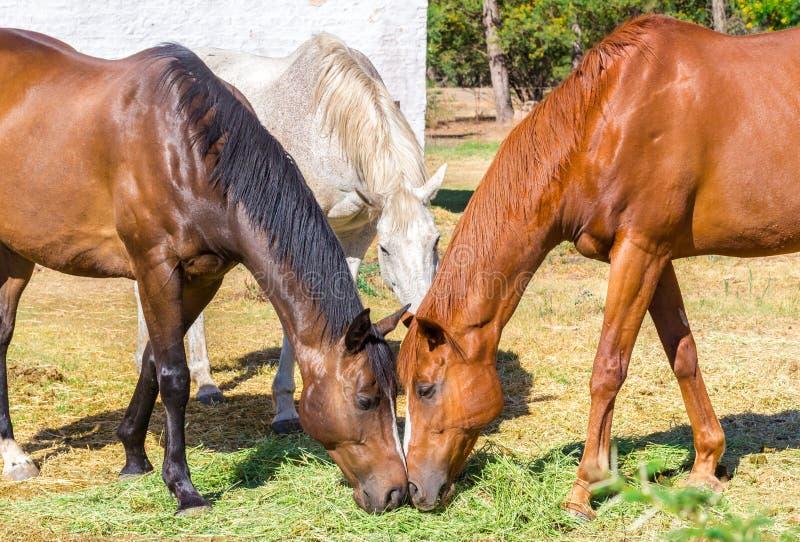 Tre cavalli che mangiano la paglia del fieno, erba in prato vicino alle stalle fotografie stock
