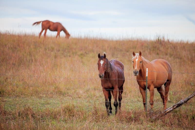 Tre cavalli del quarto in pascolo fotografia stock libera da diritti