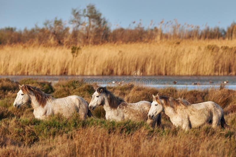 Tre cavalli di Camargue fotografia stock libera da diritti