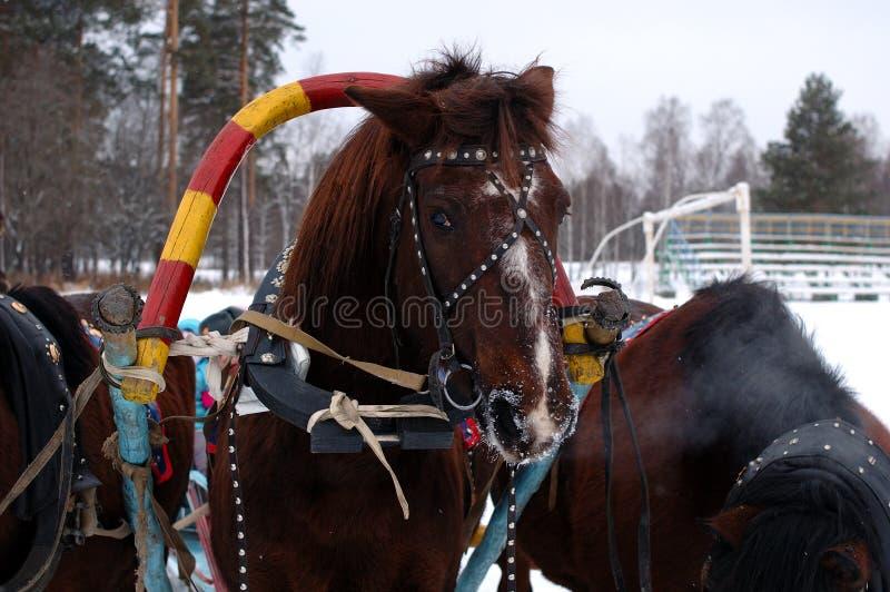 Tre Cavalli Sfruttati A Fiancato (troica). Fotografia Stock Libera da Diritti