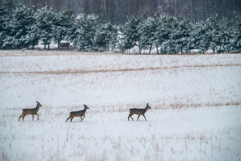 Tre cervi di uova nell'inverno vicino alla foresta immagini stock