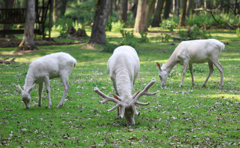 Tre cervi rossi bianchi che mangiano l'erba nella foresta fotografia stock libera da diritti