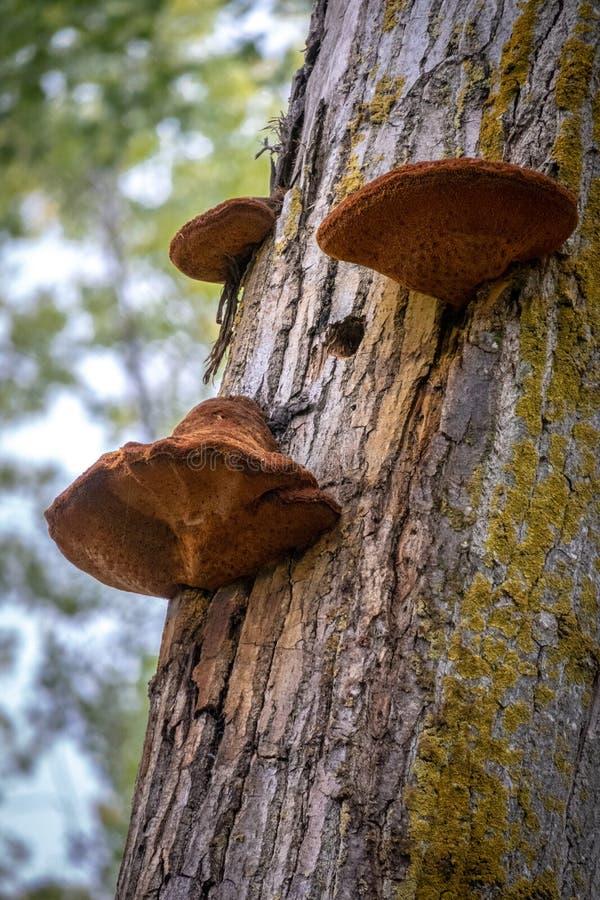 Tre champinjoner i ett träd arkivbild