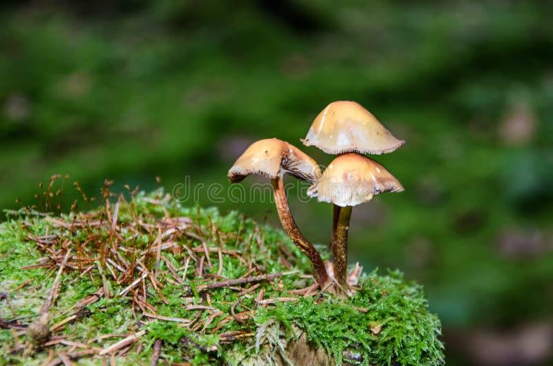 Tre champinjoner i skogen på entäckt trädstam royaltyfri foto