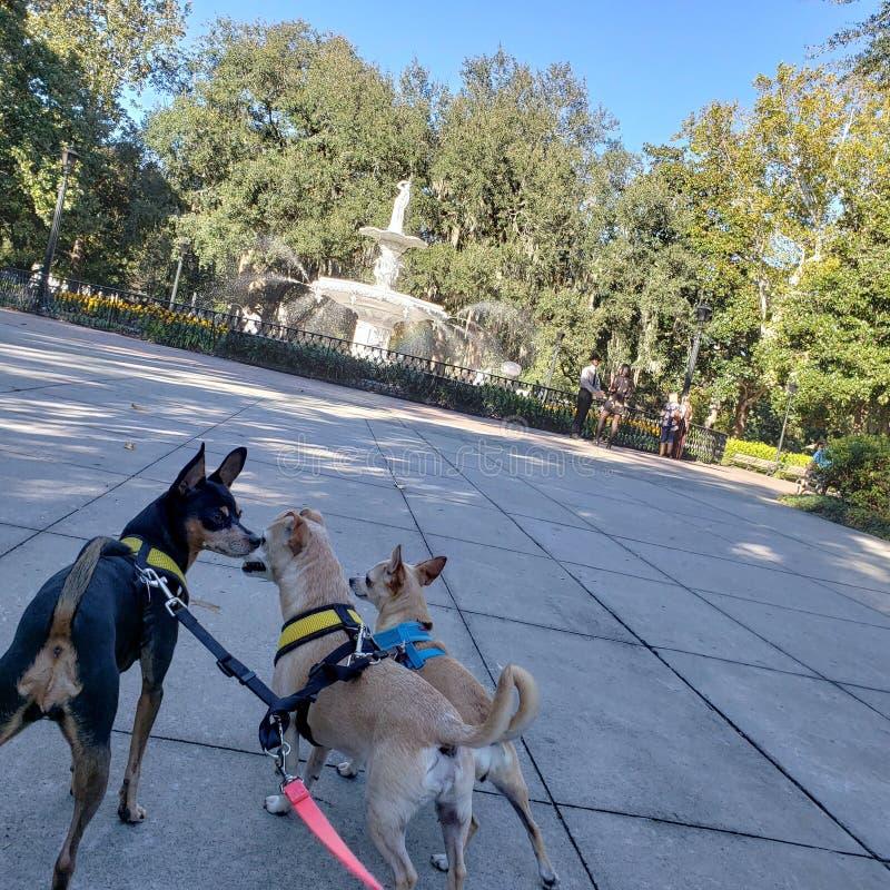 Tre chihuahuas på Forsyth parkerar i Savannah Georgia fotografering för bildbyråer