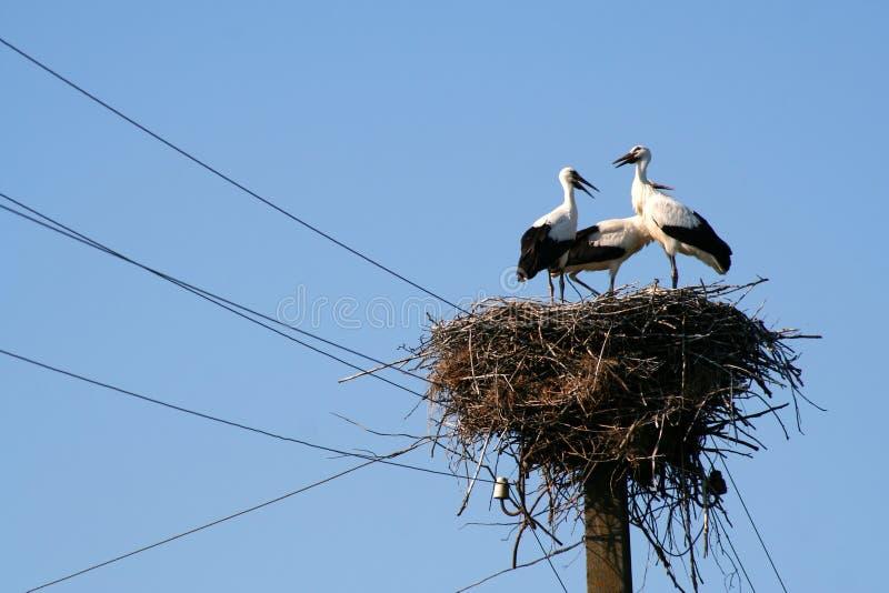 Tre cicogne sul loro alto primo piano del nido sopra la colonna elettrica sul fondo del cielo fotografie stock