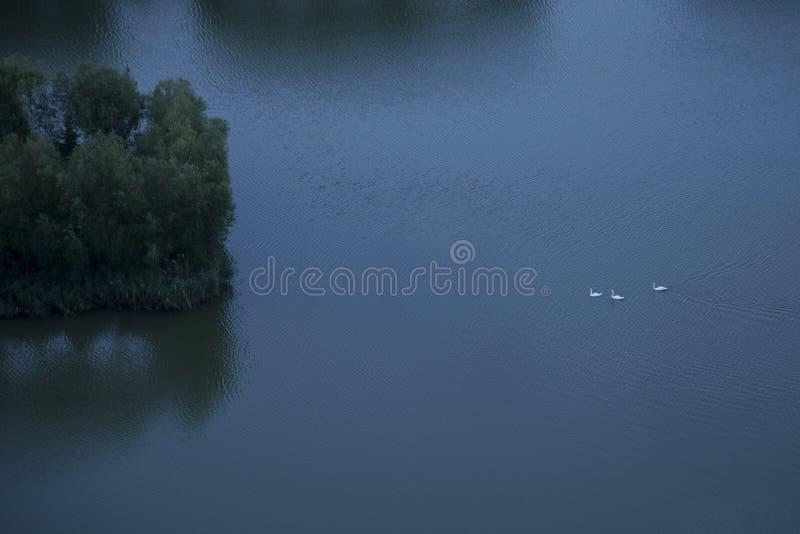 Tre cigni che fanno il loro modo all'isola fotografia stock