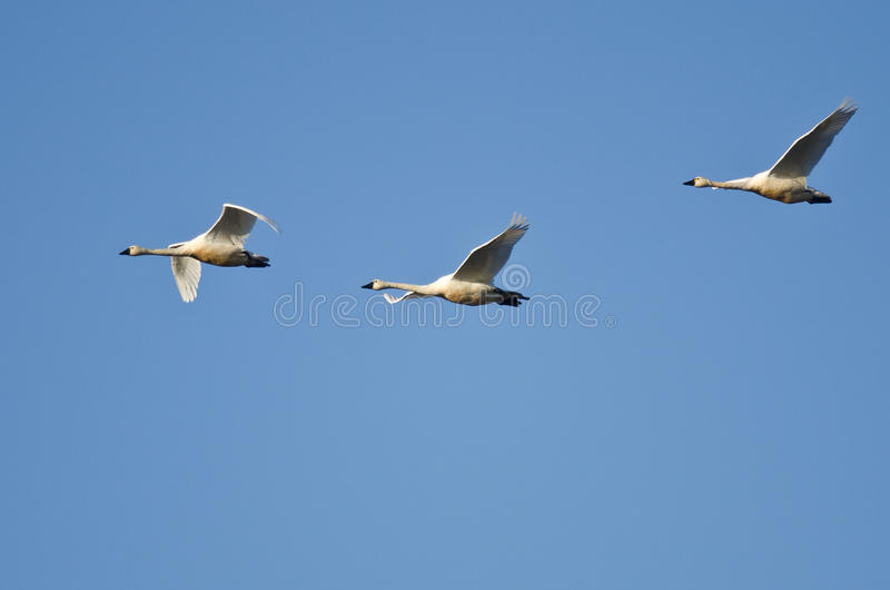 Tre cigni di tundra che volano in un cielo blu fotografie stock