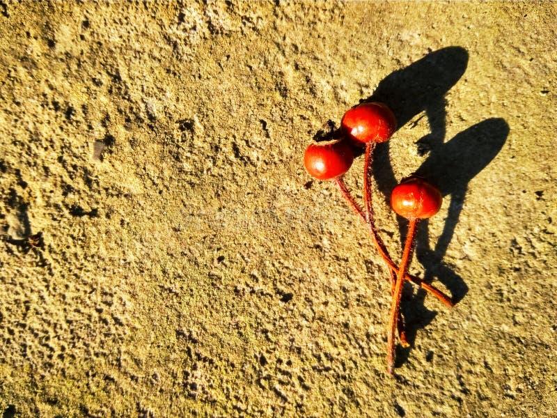 Tre cinorrodi asciutti rossi su calcestruzzo immagini stock libere da diritti
