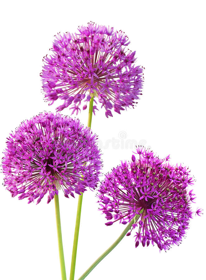 Tre cipolle del Ornamental di Alliums fotografie stock