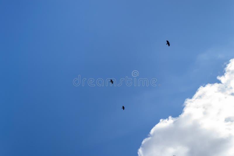Tre corvi neri contro un cielo blu e una nuvola bianca Un volo di tre corvi neri fotografie stock