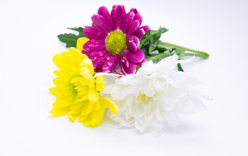 Tre crisantemi dentellano ed ingialliscono e macrophoto alto vicino dei fiori di macro di bianco fotografia stock libera da diritti