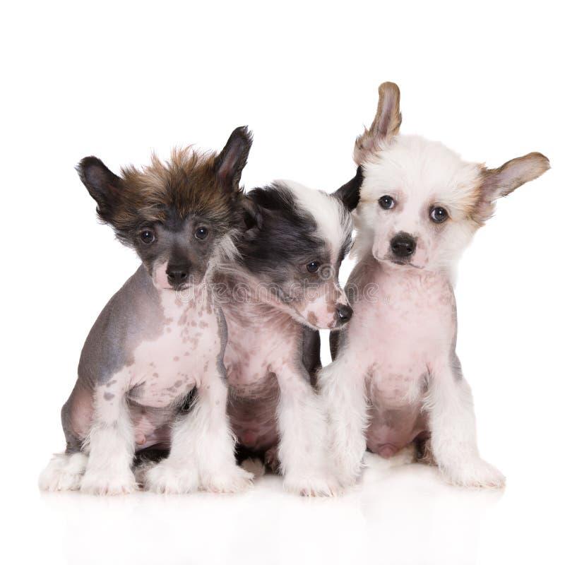 Tre cuccioli crestati cinesi su bianco fotografia stock libera da diritti