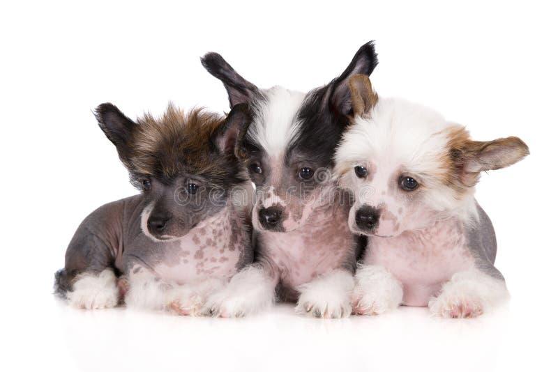 Tre cuccioli crestati cinesi su bianco immagini stock libere da diritti