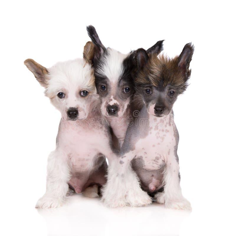 Tre cuccioli crestati cinesi su bianco fotografia stock
