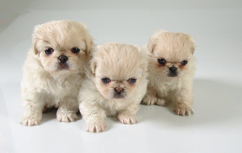 Tre cuccioli del pekinese fotografia stock