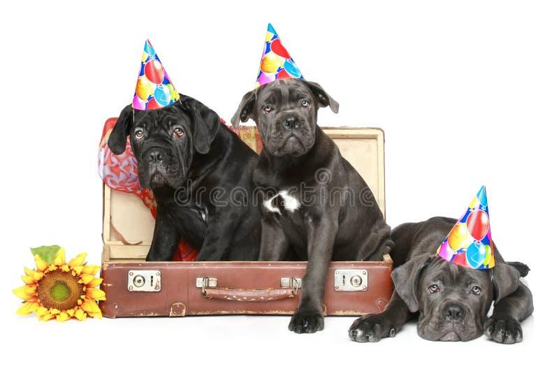 Tre cuccioli di corso della canna nel cono del partito fotografia stock
