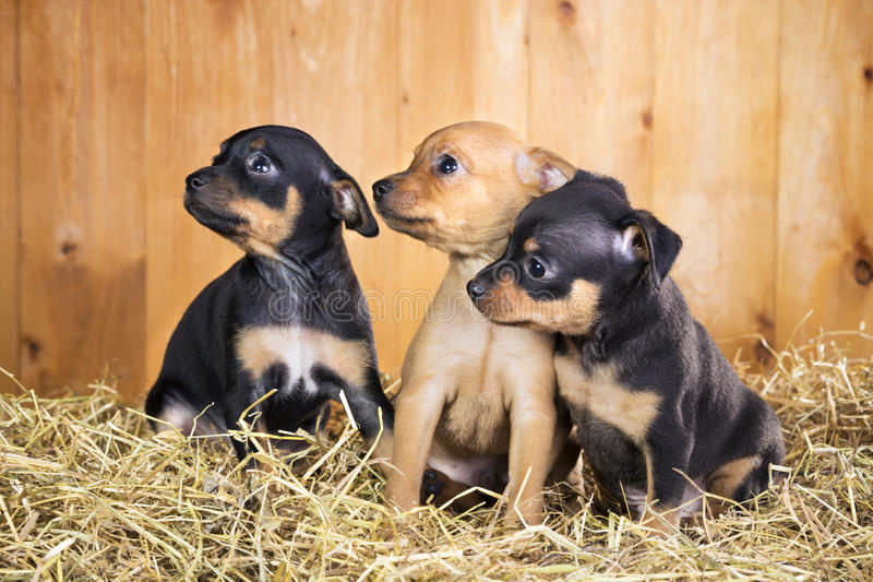 Tre cuccioli di Toy Terrier del Russo immagini stock
